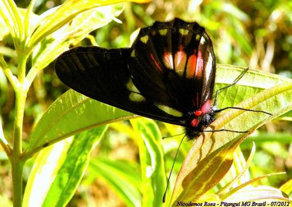 Pieridae : Archonias brassolis tereas Godart, [1819]. Pitangui (MG, Brésil), 25 juillet 2012. Photo : Nicodemos Rosa