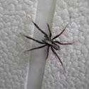 Wolf Spider, male Schizocosa sp.