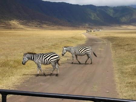 Safari Tanzania: Zebre traversand