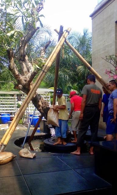 Pohon kamboja  batang besar harga murah