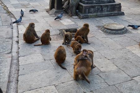 Obiective turistice Nepal: Adunatura de maimute