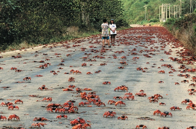 Christmas Island Australia.Annual Red Crab Migration On Christmas Island Amusing Planet