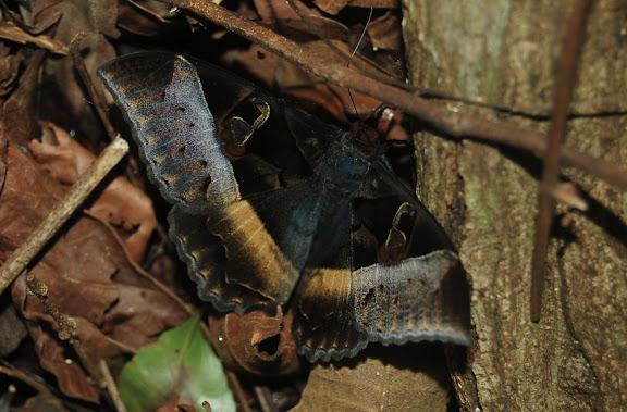 Noctuidae : Catocalinae : Cyligramma disturbans WALKER, 1858. Réserve d'Ankarafantsika (50 km à l'est de Majunga), 210 m d'altitude, 9 février 2011. Photo : T. Laugier