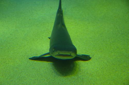 宮島水族館のサメ