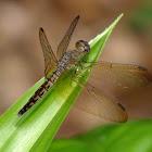 Common Parasol (Female)