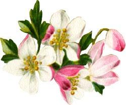 http://lh5.ggpht.com/-dEvMDzoROUQ/TRPWW_ZSCFI/AAAAAAAAFGY/oexdTQbNbZo/s250/fruit-blossoms.jpg