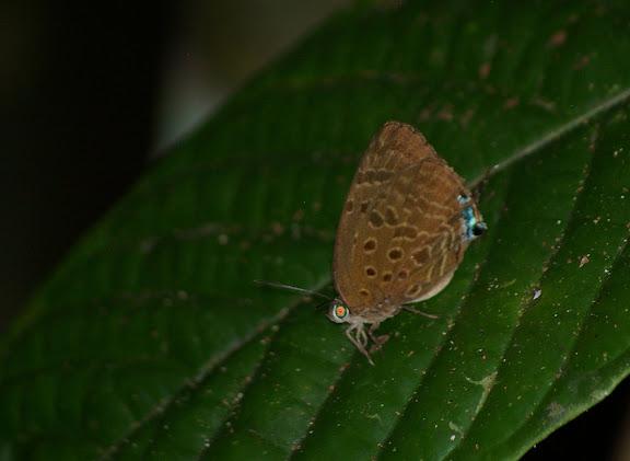 Arhopala atosia HEWITSON, 1863. Sukau (Pangui), 7 août 2011. Photo : J.-M. Gayman