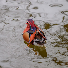 Mandarin  by Avtar Singh - Animals Birds ( bird, water, reflection, nature, colorful, mandarin, swiming, duck )
