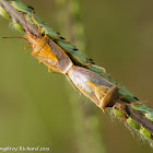 Rice stink bugs (mating)