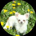 Image Google de Les Merveilles d'Eden Chihuahua