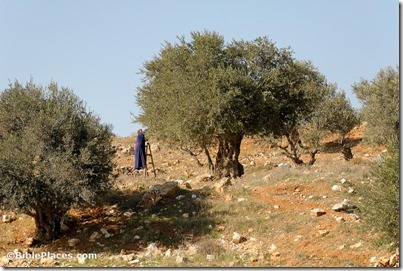 Woman harvesting olives near Bethlehem, tb111106855