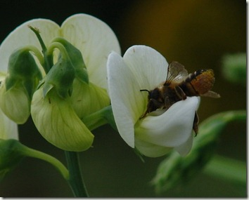 megachile on sweet pea