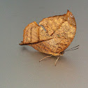 Isidora Leafwing