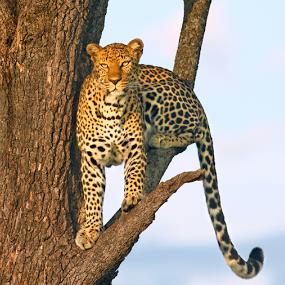 Female leopard Masai Mara by Sue Green - Animals Lions, Tigers & Big Cats