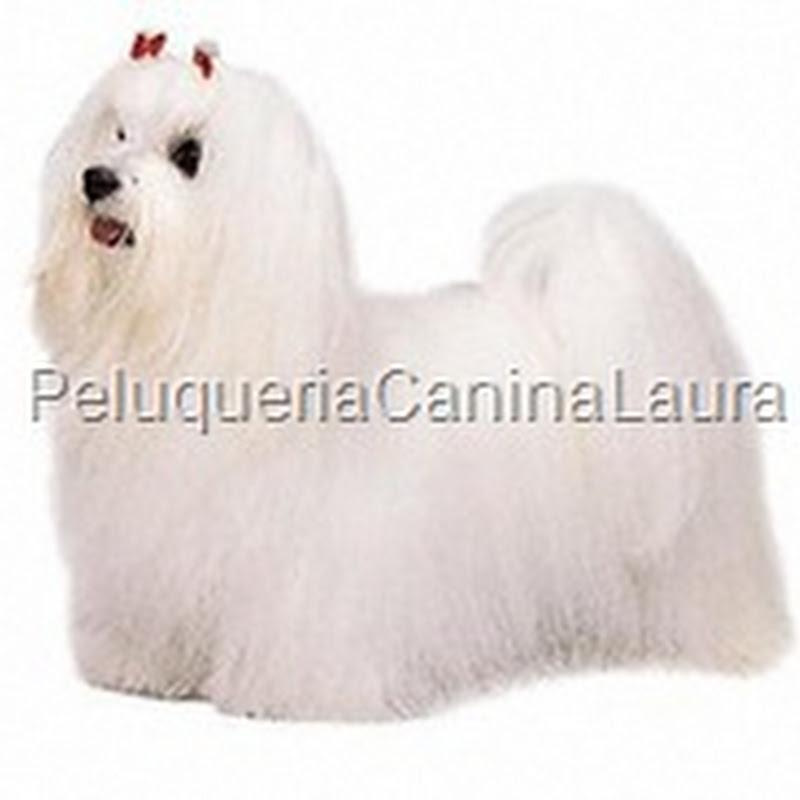 Peluqueria Canina Y Cuidados De La Mascota Bichón Maltés