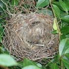 Cape Bulbul's nest