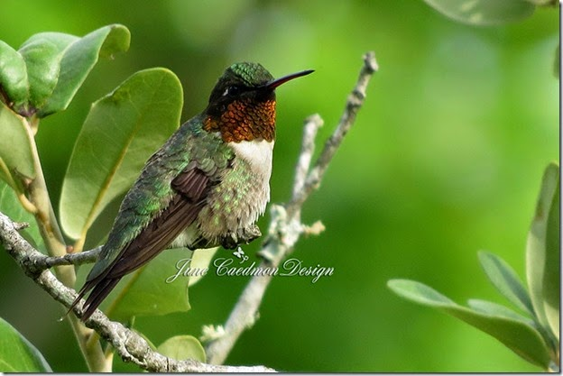 Ruby-throated_Hummingbird