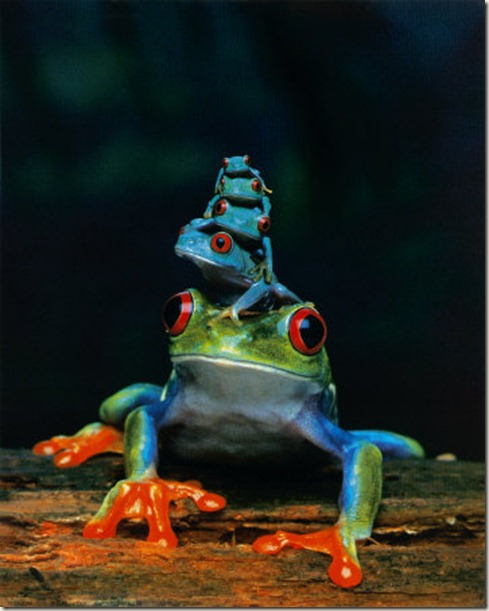 Blue-Tree-Frogs