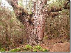 Longevo pino canario