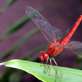 by Pritha Gupta - Animals Insects & Spiders ( macro, animals, reds, insects, dragonflies )