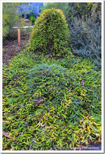 131124_UCD_Arboretum_AustralianCollection_Grevillea-Poorinda-Royal-Mantle_01
