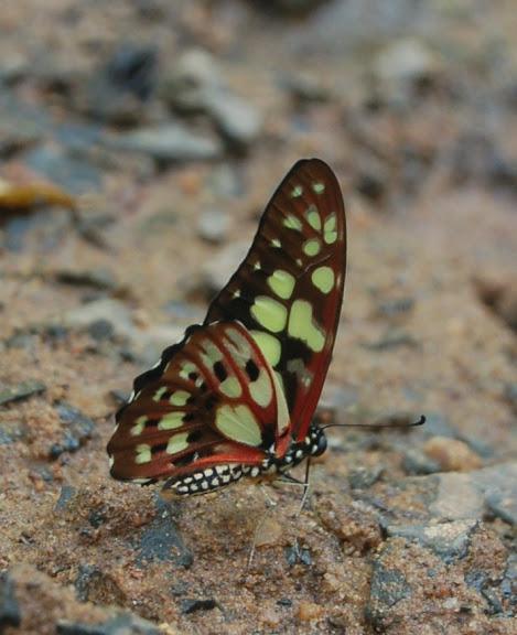 Graphium cyrnus BOISDUVAL, 1836, endémique de Madagascar. Réserve d'Ankarafantsika (50 km à l'est de Majunga), 210 m d'altitude, 9 février 2011. Photo : T. Laugier