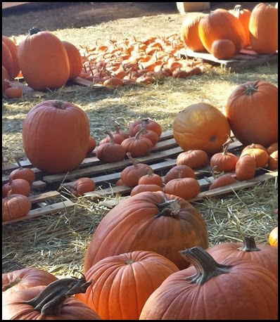 pumpkin patch6