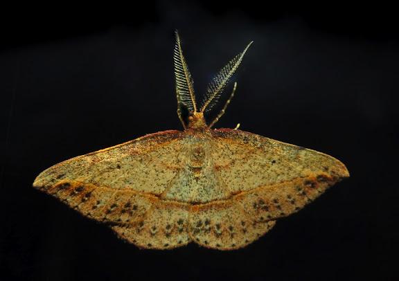 Geometridae : Oenochrominae : Nearcha curtaria GUÉNÉE, 1857 (probablement). Umina Beach (NSW, Australie), 17 octobre 2011. Photo : Barbara Kedzierski