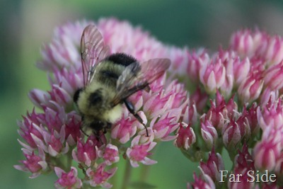 Sedum and a bee September
