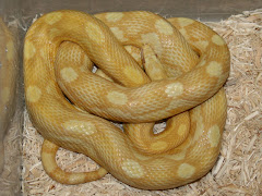 corn snake [5] - imglinkz