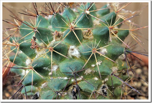 Succulents and More: Of mealy bugs and powdery mildew