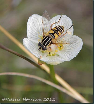 47-hoverfly Helophilus pendulus