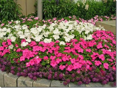 impatiens-walleriana2