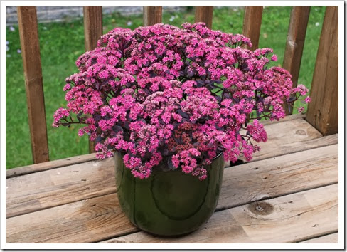 Sedum 'Dazzleberry' from 128 cell planted April 15, 2012 at Willoway, pic taken 8-31-12 copy