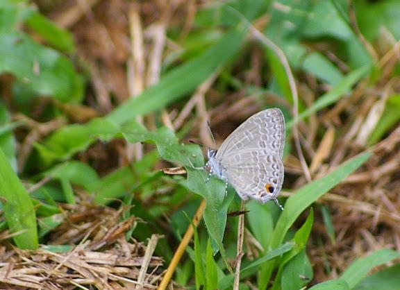 Catopyrops ancyra C. FELDER, 1860. Sukau (Sabah), 7 août 2011. Photo : J.-M. Gayman