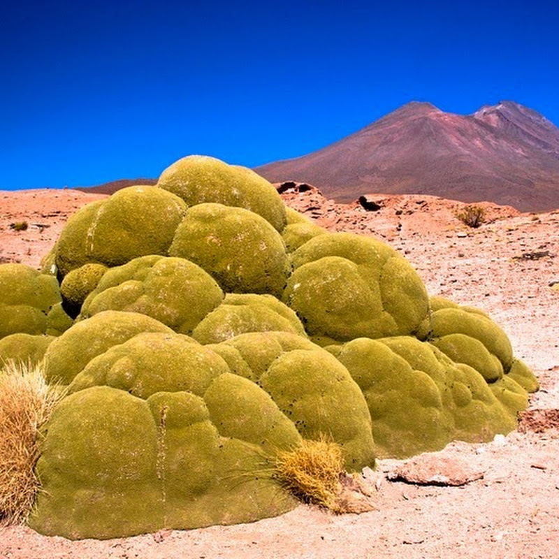 Yareta, The 3,000 Years Old Plant