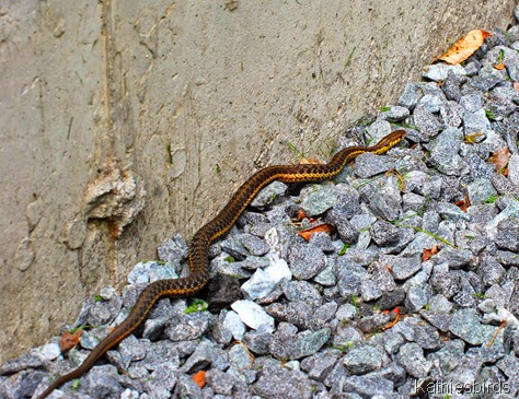 7. garter snake full length-kab