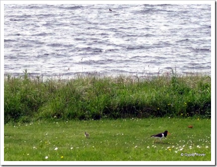 Oyster Catcher and chick. can you spot it.