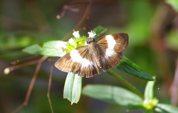 Hesperiidae : Potomanaxas unifasciata C. FELDER & R. FELDER, 1867 (?). Amazone Nature Lodge, Montagne de Kaw (Guyane). 18 novembre 2011. Photo : J.-M. Gayman