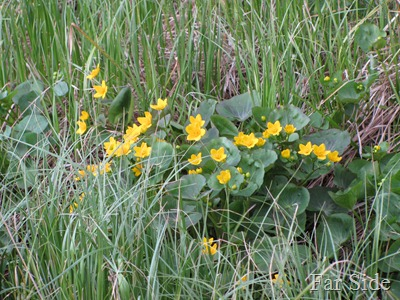 Marsh Marigolds  May 5 2012