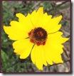 Close-up Coreopsis Golden Tickseed