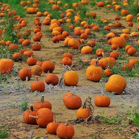 Pumpkins by Dominick Darrigo - Nature Up Close Gardens & Produce (  )