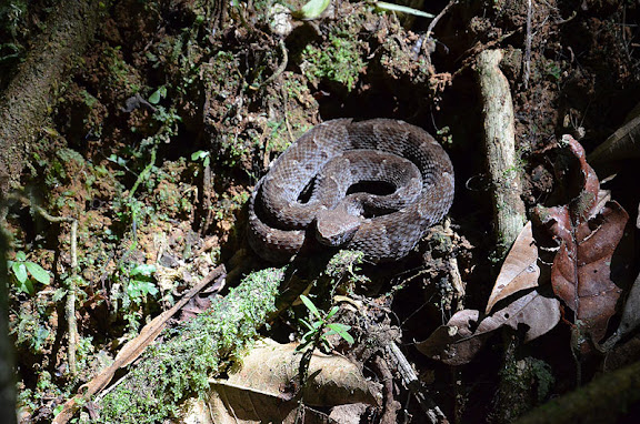 "Grage ""petits carreaux"" (Bothrops atrox). Sentiers du Grand Boeuf Mort, Saül, 18 novembre 2012. Photo : M. Belloin"