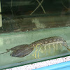 Asian Mantis Shrimp