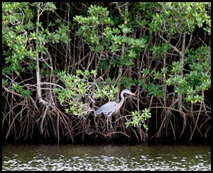 Great Blue Heron on Mangroves