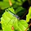 Little Blue Dragonlet Dragonfly