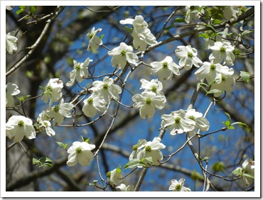 2013-04-20 Santeetlah, NC - Dogwood Tree (1)