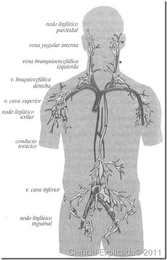 imagen sistema linfatico