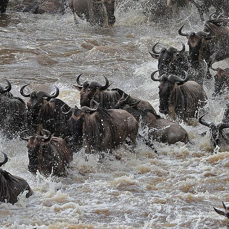 The Great Mara River Crossing