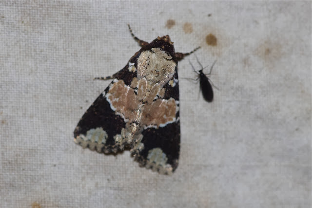 Noctuidae : Amphipyrinae : Condica cupentia (CRAMER, 1780). Los Cedros, 1400 m, Montagnes de Toisan, Cordillère de La Plata (Imbabura, Équateur), 18 novembre 2013. Photo : J.-M. Gayman